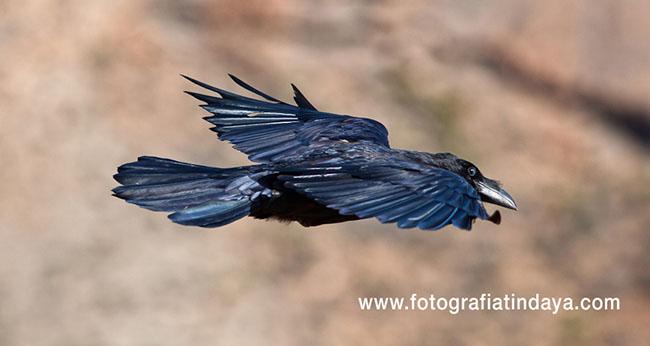 cuervo de Canarias (Corvus corax canariensis),